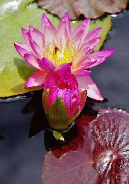 Photograph - Water Lily Wpth Bee by Phyllis Spoor