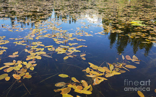 Photograph - Water Plants On Lake Surface - Oregon by Charmian Vistaunet