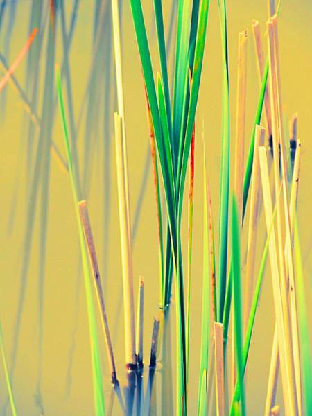 Photograph - Water Reeds Soft by Beth Akerman