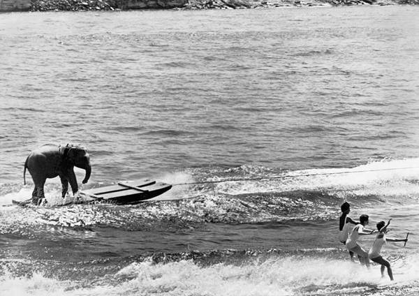 Wall Art - Photograph - Water Skiing Elephant by Underwood Archives