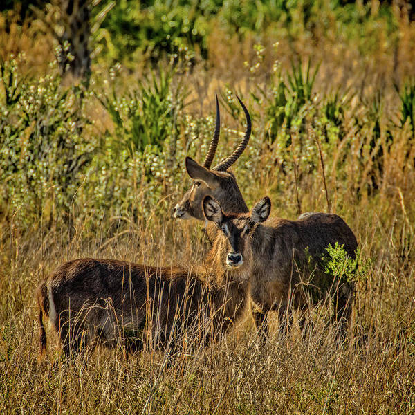 Photograph - Waterbuck Buck And Doe by Richard Goldman