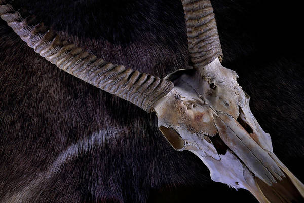 Photograph - Waterbuck Criss Cross by David Andersen
