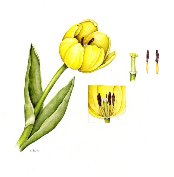 Watercolor Flower Yellow Tulip Art Print