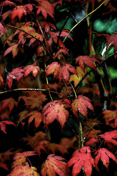 Photograph - Watercolor Japanese Maple Detail After The Rain 1785 W_2 by Steven Ward