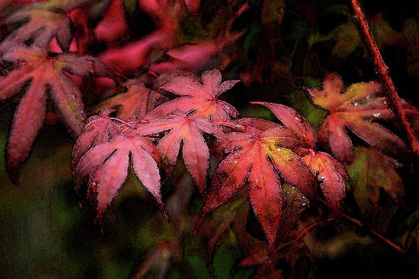 Photograph - Watercolor Japanese Maple With Raindrops 1787 W_2 by Steven Ward