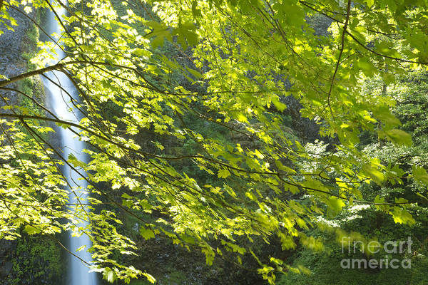 Photograph - Waterfall And Maple by Charmian Vistaunet