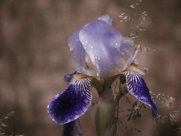 Photograph - Waterford Iris In The Rain by Barbara St Jean