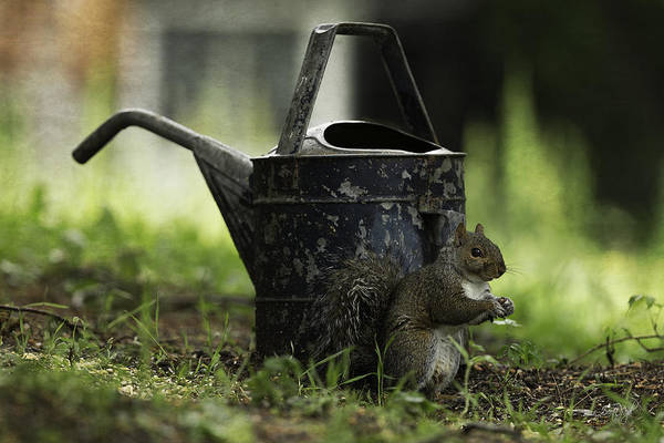 Grey Squirrel Photograph - Watering Can by Everet Regal