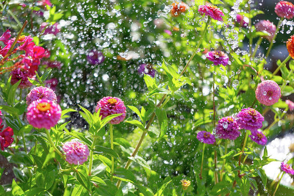 Photograph - Watering The Zinnias by SR Green