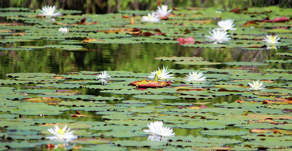 Photograph - Waterlilies In The Morning by Cynthia Guinn
