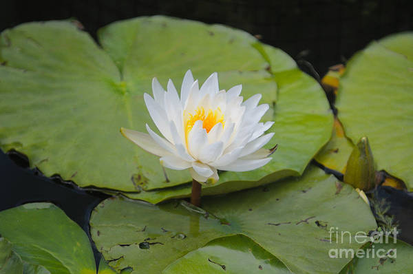 Waterlilies Art Print by Miguel Celis
