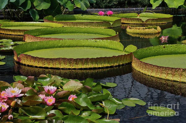 Photograph - Waterlilies North And South by Byron Varvarigos