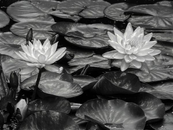 Photograph - Waterlillies In Black And White by Alice Gipson