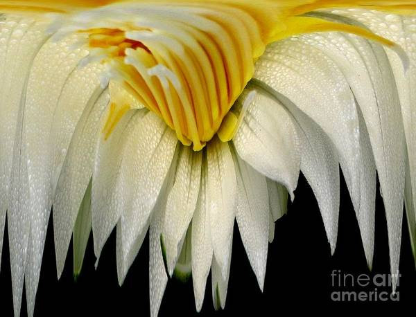 Photograph - Waterlily Flower Abstract by Rose Santuci-Sofranko