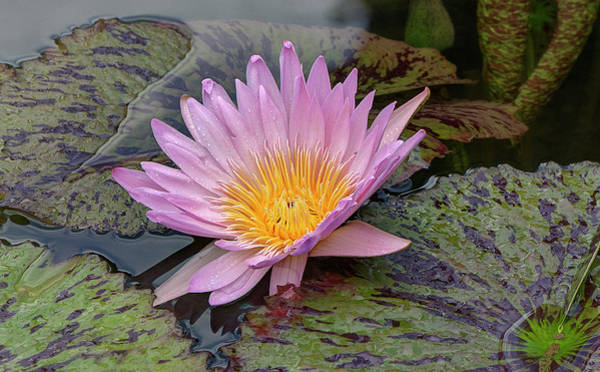 Photograph - Waterlily by Ree Reid