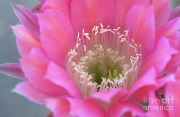 Wall Art - Photograph - Watermelon Cactus Blooms by Ruth Jolly