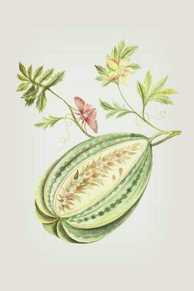 Mixed Media - Watermelon With Leaves And Butterfly By Cornelis Markee 1763 by Cornelis Markee