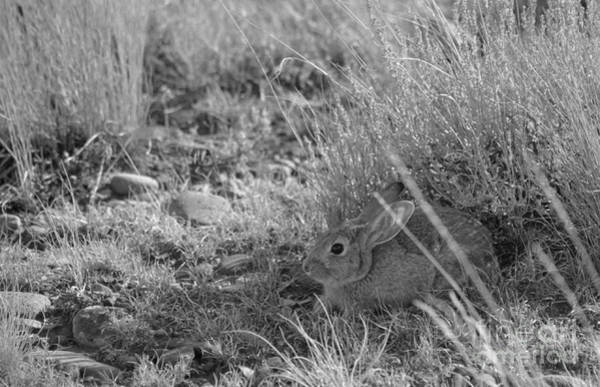 Cottontail Photograph - Watership Down by Janeen Wassink Searles