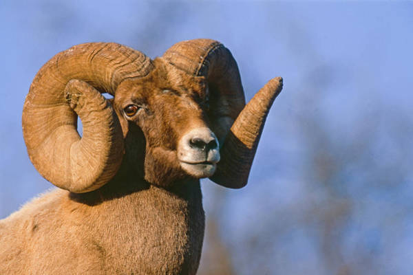 Photograph - Waterton Canyon Ram by Mark Miller