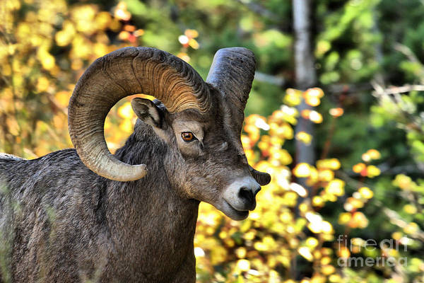 Photograph - Waterton Lakes Bighorn Ram by Adam Jewell