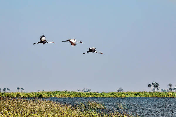 Photograph - Wattled Cranes In Flight  by Kay Brewer