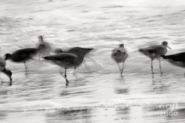 Photograph - Plundering Plover Series In Black And White 2 by Angela Rath