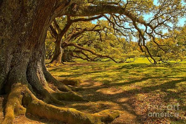 Photograph - Waves Of Historic Oak Branches by Adam Jewell