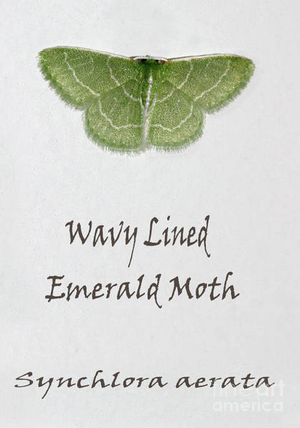 Photograph - Wavy Lined Emerald Moth Named by Karen Adams