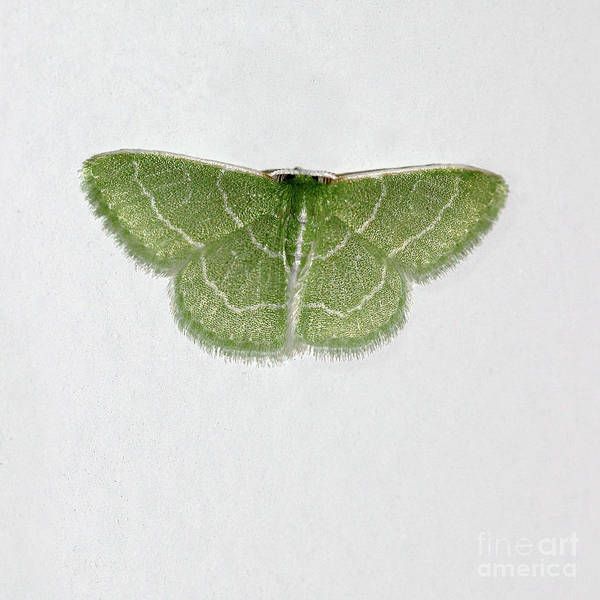 Photograph - Wavy Lined Emerald Moth Square by Karen Adams