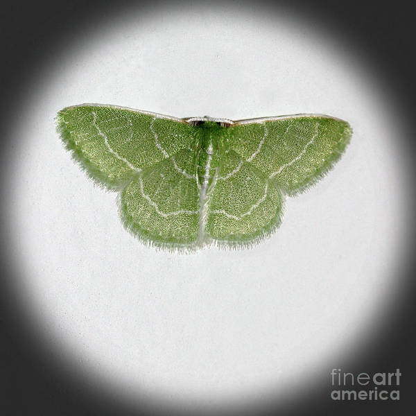 Photograph - Wavy Lined Emerald Moth Square Vignette by Karen Adams