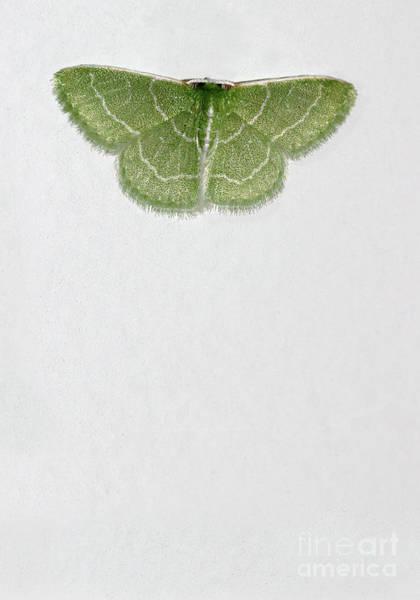 Photograph - Wavy Lined Emerald Moth Vertical by Karen Adams
