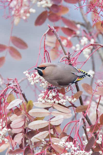 Photograph - Waxwing On White by Peter Walkden