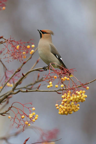 Photograph - Waxwing On Yellow by Peter Walkden