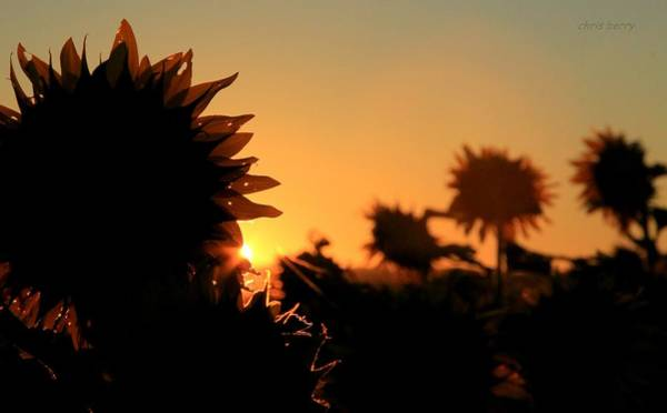 Wall Art - Photograph - We Are Sunflowers by Chris Berry
