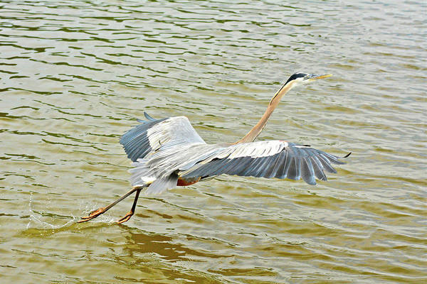Photograph - We Have Heron Liftoff by Don Mercer