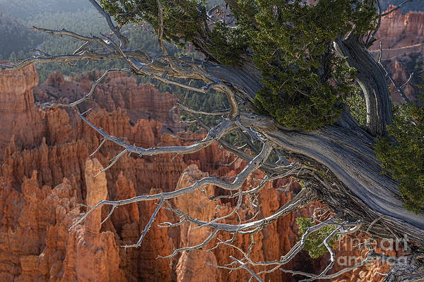 Photograph - Weathered And Worn Tree In The Canyon by Dan Friend