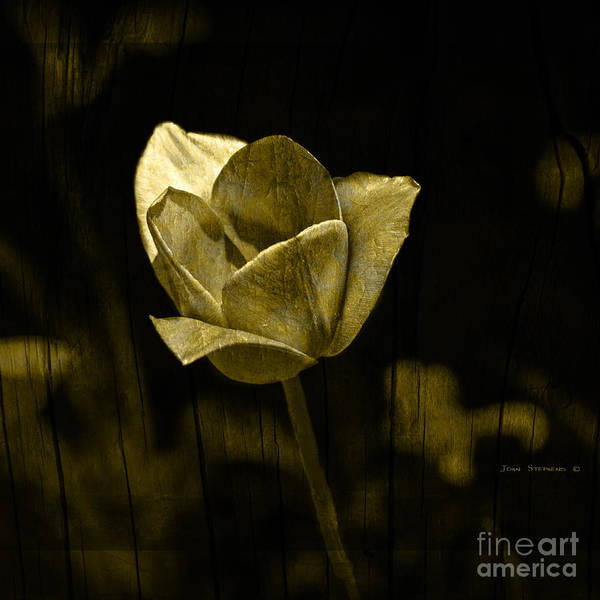 Wall Art - Photograph - Weathered Golden Tulip by John Stephens