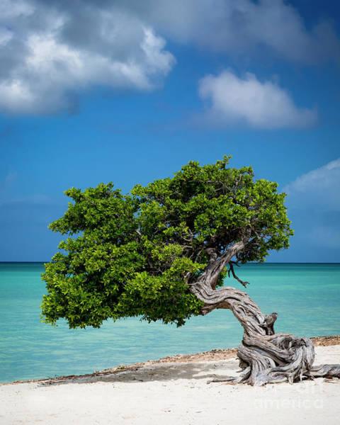 Photograph - Weathered Tree On Aruba Beach by Brian Jannsen