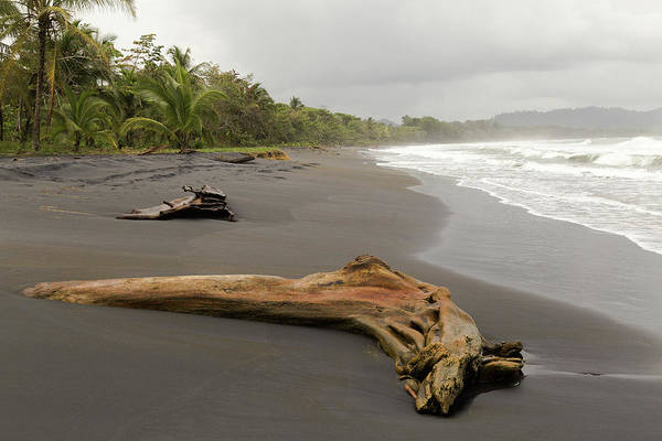 Photograph - Weathered Tree On Costa Rica Beach by Pete Hendley
