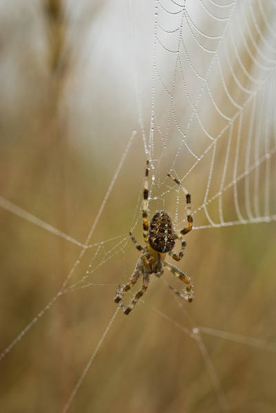 Photograph - Web Walker by Robert Potts
