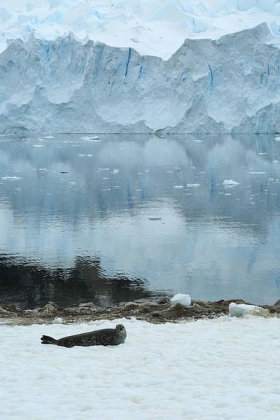 Wall Art - Photograph - Weddell Seal And Glacier by Bruce J Robinson