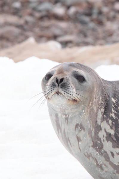 Wall Art - Photograph - Weddell Seal Portrait by Bruce J Robinson