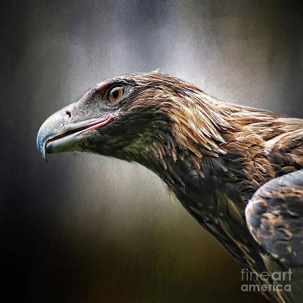 Wall Art - Photograph - Wedge-tailed Eagle Portrait By Kaye Menner by Kaye Menner