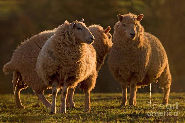 Sheep Photograph - wee by Angel Ciesniarska