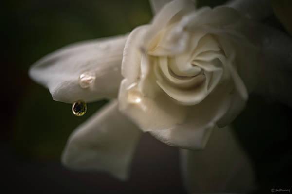Lightner Museum Photograph - Weeping Petals by Janal Koenig