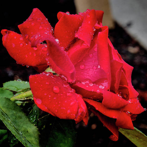 Photograph - Weeping Red Rose by Robin Zygelman