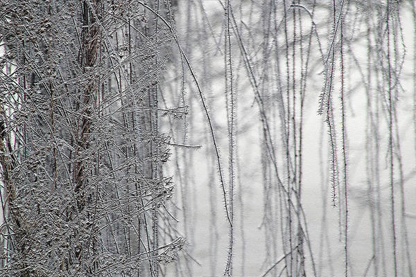 Photograph - Weeping Willow Hoarfrost 12-21-16  7525 by Ericamaxine Price
