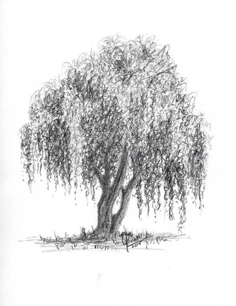 Singh Drawing - Weeping Willow Tree by Swati Singh