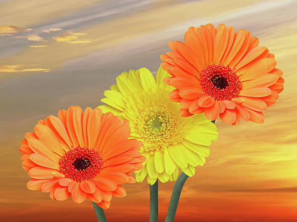 Photograph - Welcome To The New Day Gerbera Daisies by Gill Billington