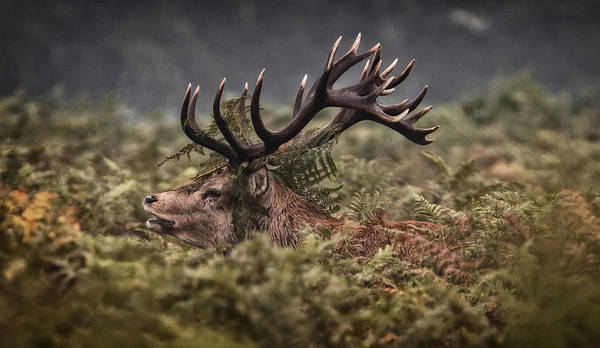 Red Deer Photograph - Well Hidden by Nigel Jones